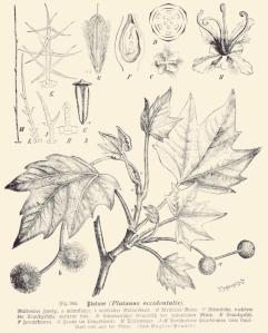 Platane commun Fig. 344 from E. Gilg and K. Schumann, Das Pflanzenreich. Hausschatz des Wissens, ca. 1900 (1).jpg