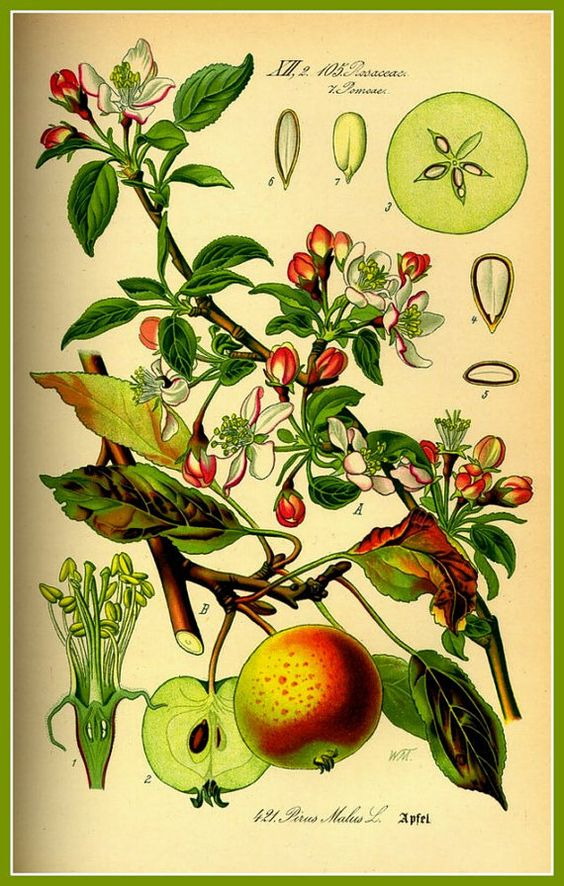 pomme art print kitchen art apple late victorian 1885