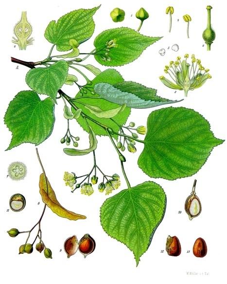 48:1 Tilleul d'Amérique Franz Eugen Köhler, Köhler's Medizinal-Pflanzen, 1897