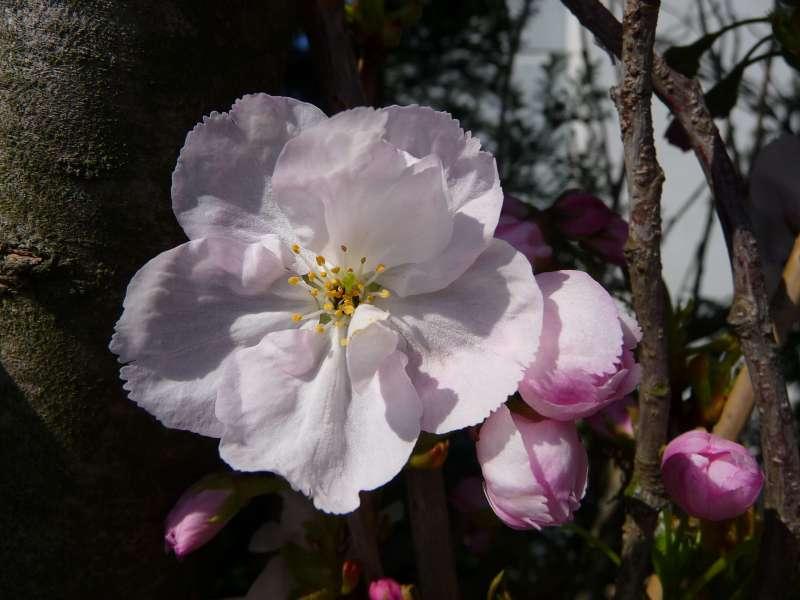 Cerisier du Japon fotografiert im nördlichen Baden-Württemberg Deutschland 20100417