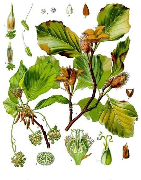HÊTRE COMMUN Franz Eugen Köhler, Köhler_s medizinal-Pflanzen Fagus sylvatica Wikipedia