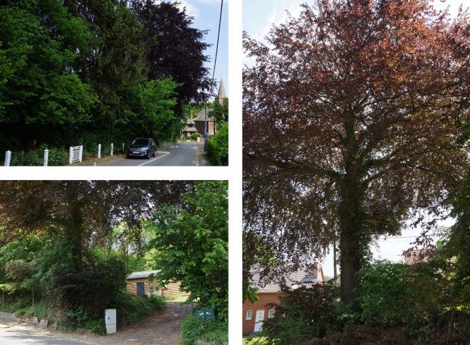 49:1 Hêtre pourpre rue du Bois du Bosquet montage