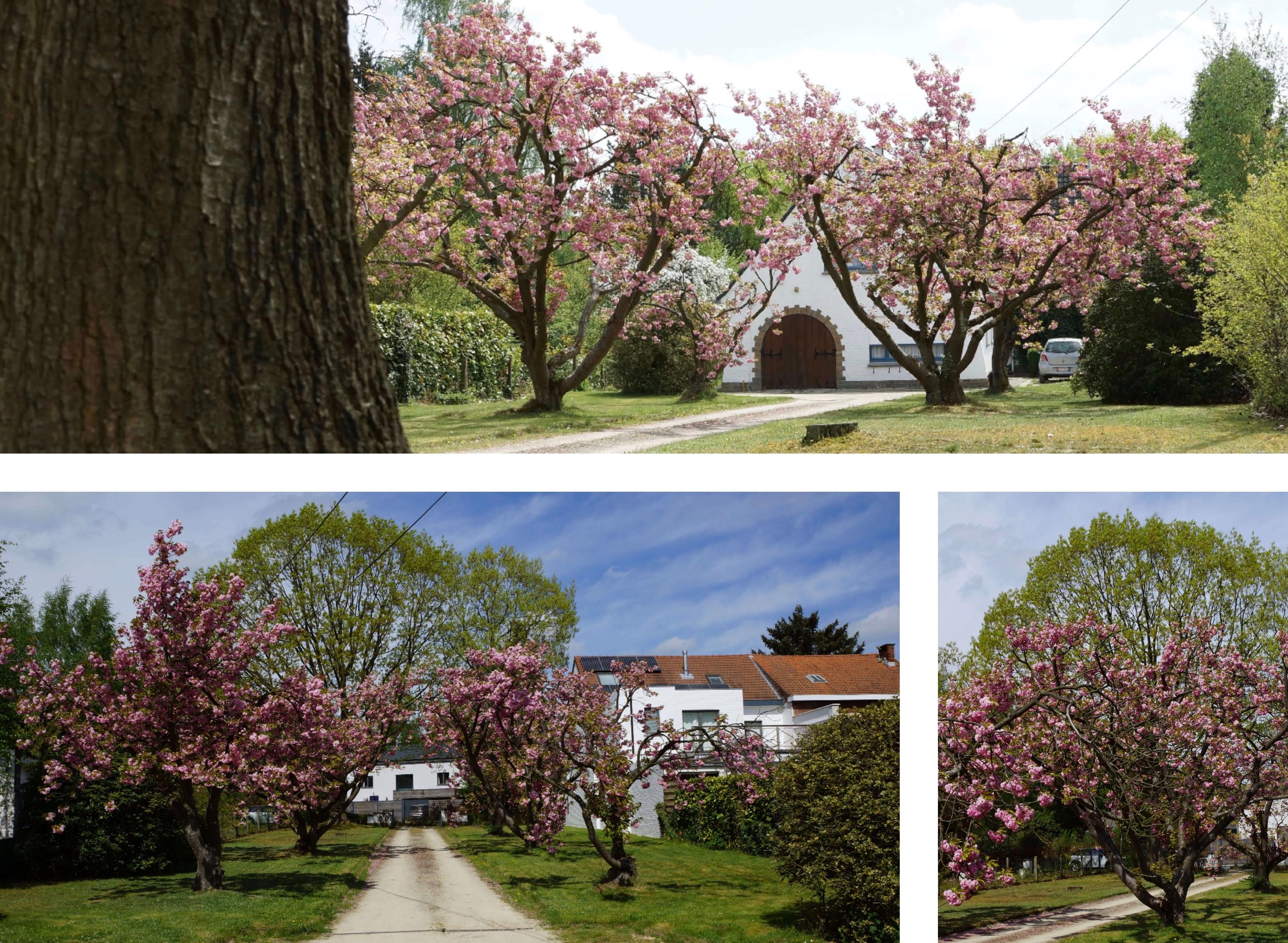 Cerisiers du Japon rue de Nivelles 70 chez Françoise Bennert montage 4.2018 © Eric de Séjournet