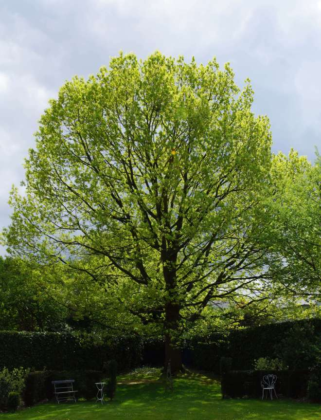 Chêne d'Amérique circ 3m07 planté circa 1968 AE chaussée de Wavre 114 Rixensart chez Joseph et Colienne de Brouwer 26.4.2018 © Eric de Séjournet 2