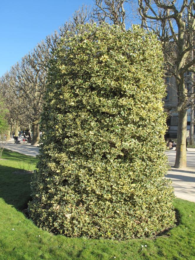 Ilex aquifolium aureomarginata (Jardin des Plantes de Paris) mars 2013 © Tangopaso