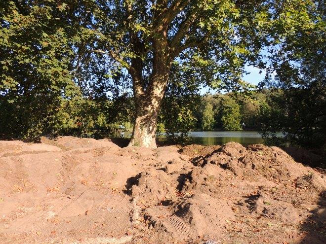 Platane commun site 16:1 avenue du Lac 15.9.2018 © Myriam Deglume 3
