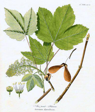 Erable sycomore planche botanique