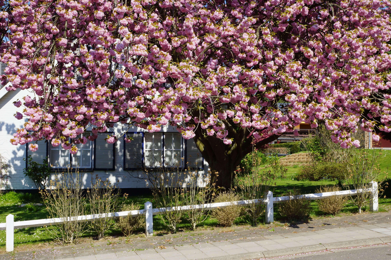 AE Cerisier du Japon avenue du Québec 8 Larremans 4.2019 © Eric de Séjournet 8