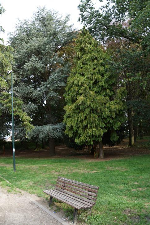 5:4 Cèdre de l'Atlas Bois communal des Charmettes 8.2018 © Eric de Séjournet 9